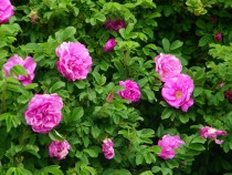 Wildflower rosa rugosa Bruach Mhor Isle of Mull