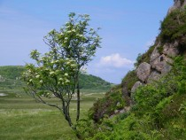 Wildflower rowan tree Knockvologan Mull