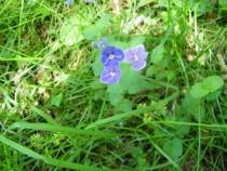 Wildflower Speedwell Loch Pottie Mull