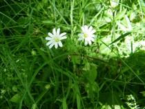 Wildflower Stitchwort Isle of Ulva