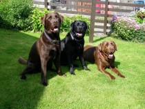 Labrador retriever family Seaview Fionnphort Garden
