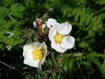 Wildflower wild or dog rose Kilpatrick Mull