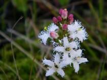 Wildflower bog bean Fionnphort Isle of Mull