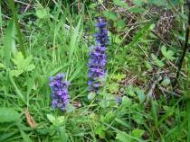 Wildflower Bugle Mull