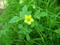 Wildflower bulbous buttercup Isle of Ulva