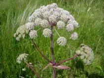 Wild flower hogweed Fionnphort Isle of Mull July
