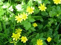 Wild flower lesser celendine Isle of Mull