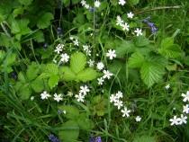 Wild flower lesser stitchwort Isle of Mull
