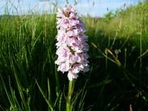 Wild Flower Heath spotted Orchid Kilpatrick Isle of Mull