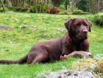 Chocolate labrador Megan Isle of Mull