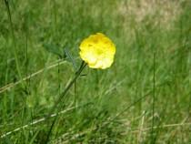Wild flower meadow buttercup Isle of Mull