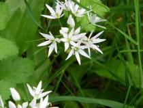Wild flower ramsons Isle of Mull