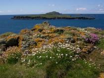 Wildflowers sea campion and thrift birds foot trefoil Carn na Burg Mor Treshnish isles