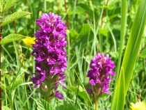 Early Orchid Traigh Ghael Isle of Mull