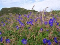 Wild Gentian Ardalanish Isle of Mull