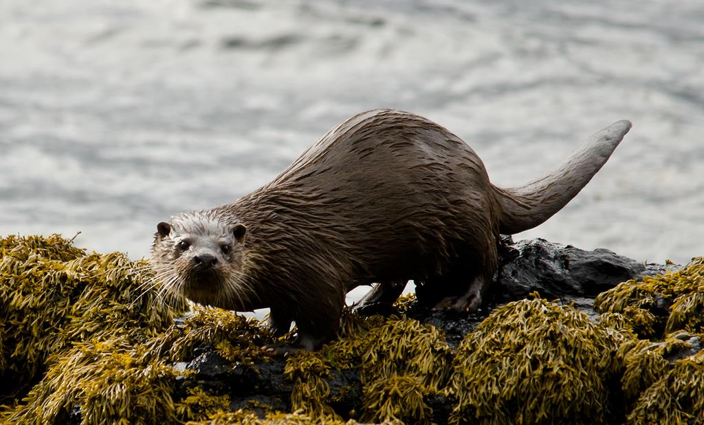 boats-trips-and-tours,Otter, Isle of Mull