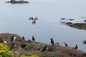 Puffins, Lunga, Treshnish. wildlife