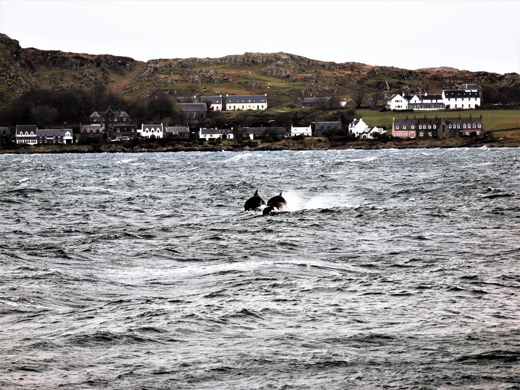 Dolphins, Sound of Iona, bed and breakfast