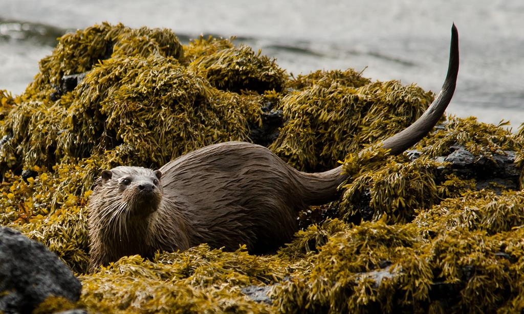 Otter, Wildlife