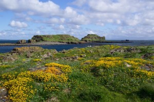 Staffa, boat, trips, and, tours, wild flowers, Lunga