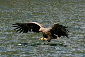 Wildlife, Sea Eagle, White tailed Eagle, Mull