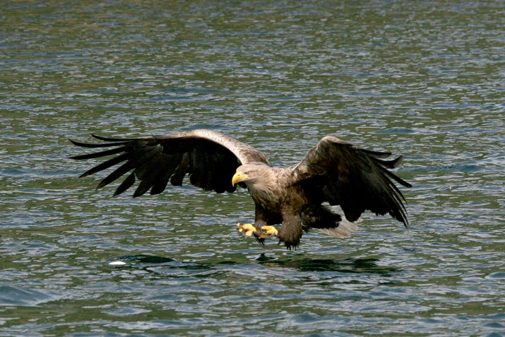 Wildlife, Sea eagle Mull