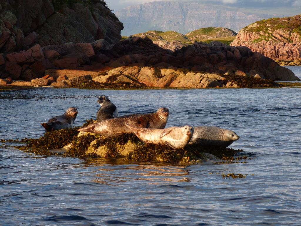 Seals, Fionnphort, Isle of Mull, Wildlife