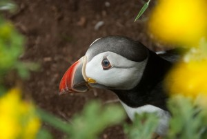 Wildlife, Puffin, Treshnish, Lunga