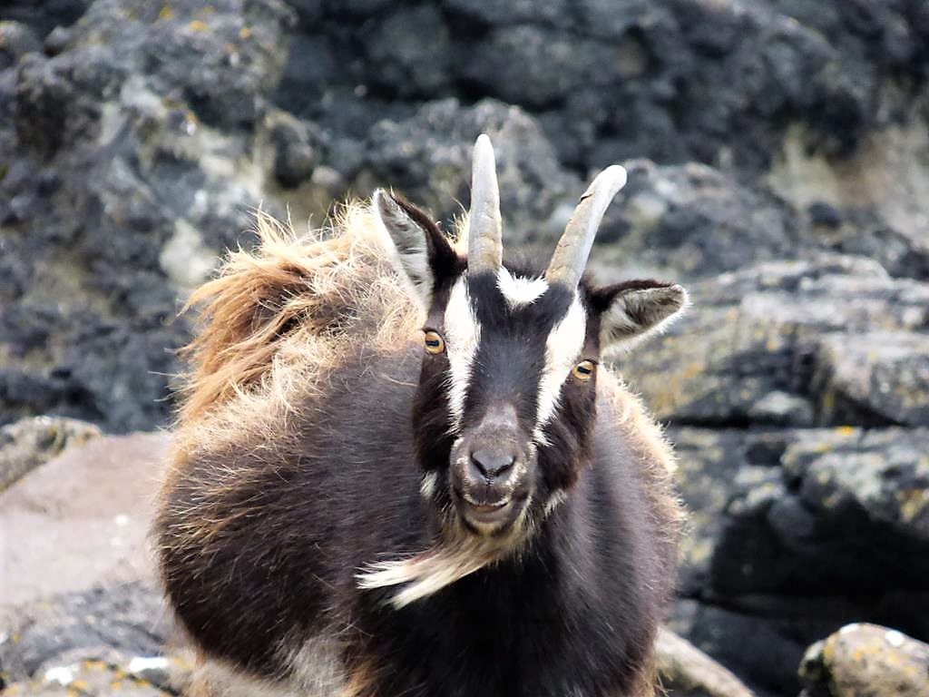 Walks on Mull, Wild Goat, Carsaig