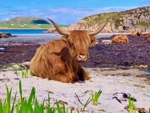 Seaview, B and B, Mull, highland cow